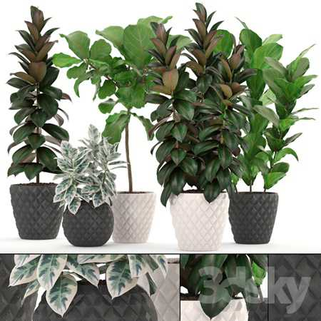 Collection of plants 212 FICUS SET